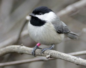 Color-banded Chickadee. Photographed by Jim Rathert