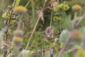 Henlsow's Sparrow
