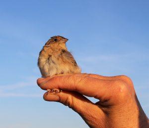 Grasshopper Sparrow at Bruns Tract CA