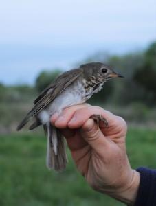 Gray-cheeked Thrush at Mora CA