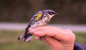 Yellow-Rumped Warbler at Mora CA