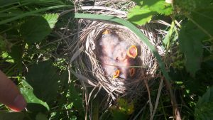 Prairie Bird Nest Monitoring at Taberville Conservation Area