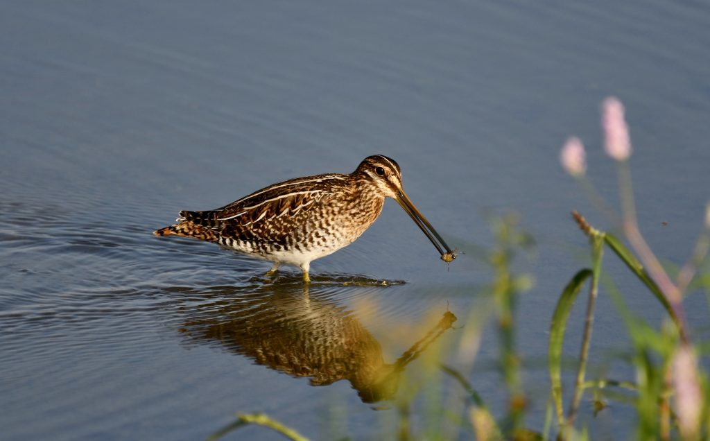 Wilson's Snipe carrying food in a wetland