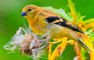 Goldfinch with Thistle seeds