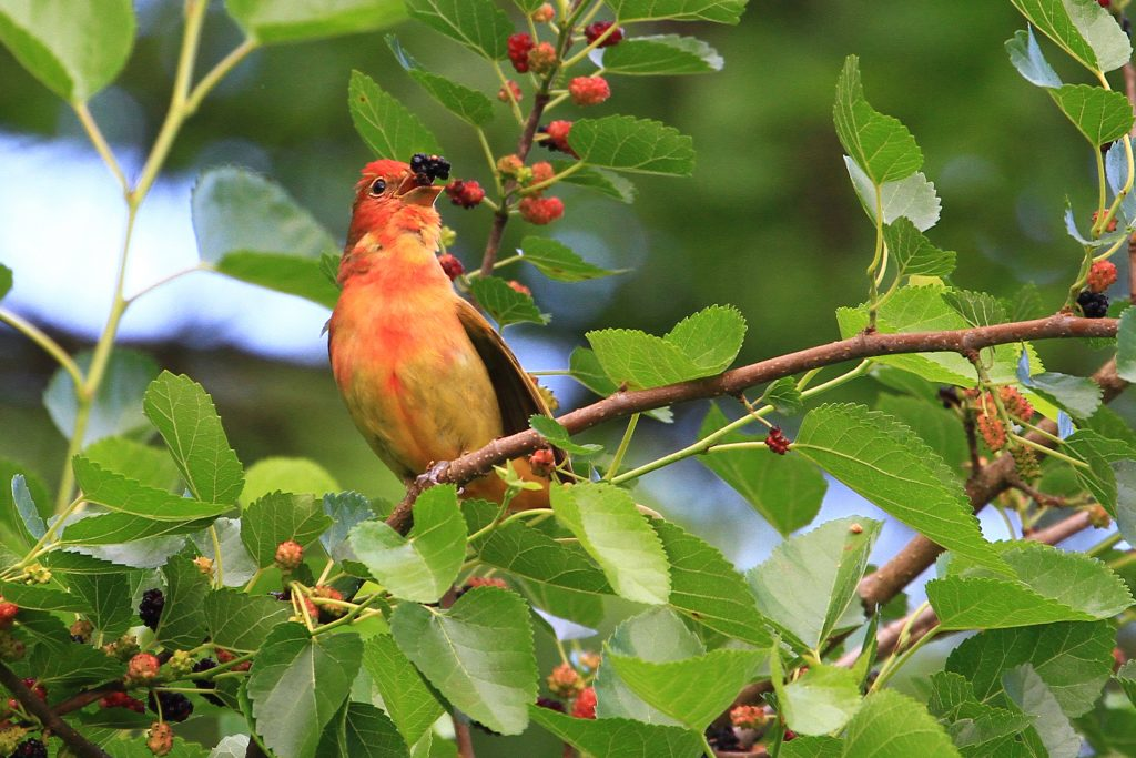 Summer Tanager with Mulberries