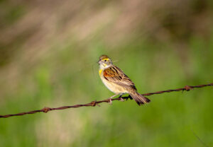 dickcissel_with_nesting_materials