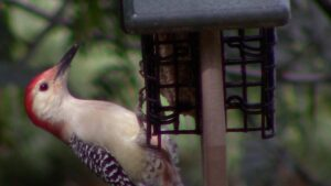Red-bellied Woodpecker Eating Suet