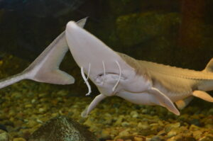 A sub-adult pallid sturgeon in Neosho National Fish Hatchery's visitor center. Photo by Katie Steiger-Meister/USFWS.