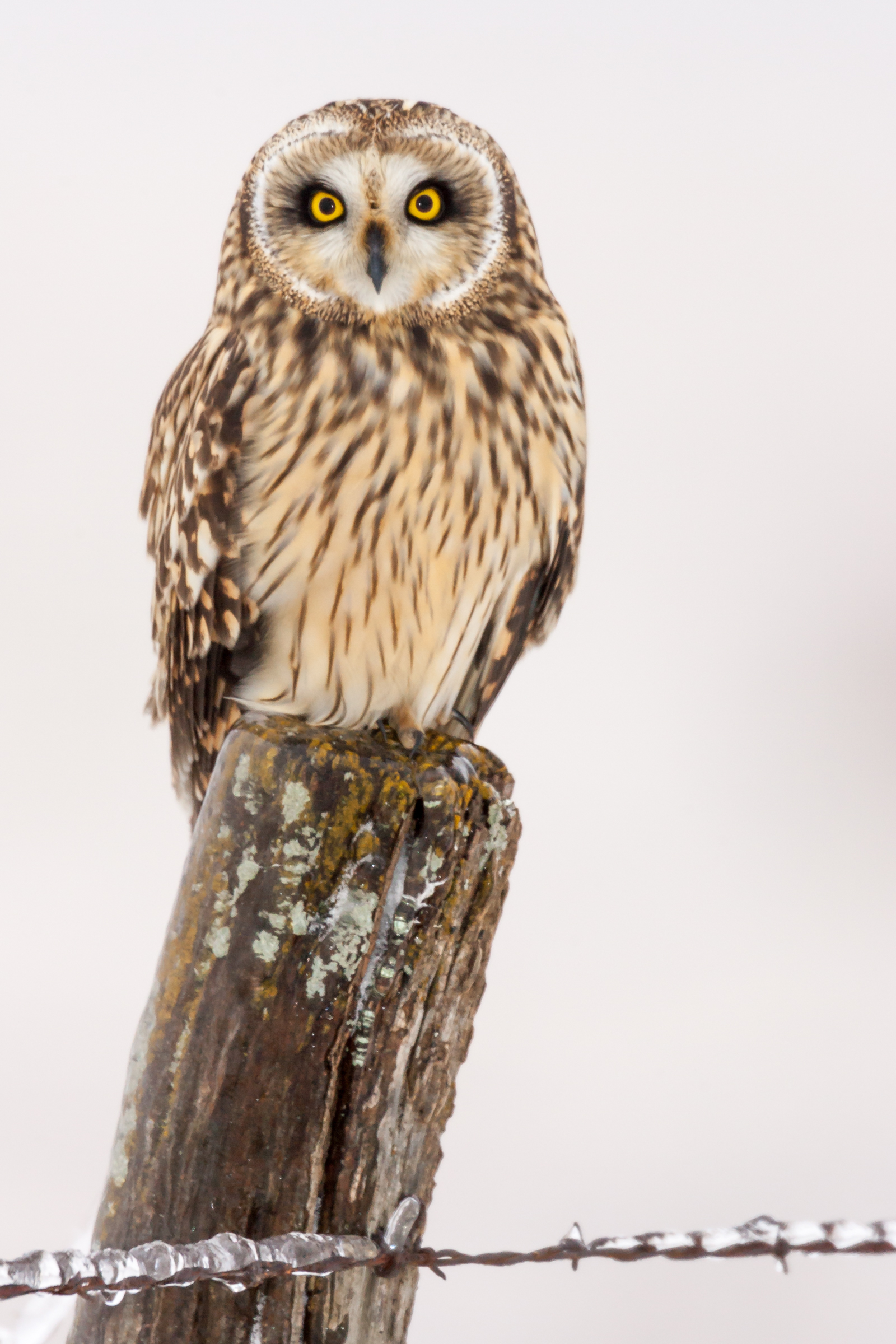short eared owl ice. Photo by Chris Valentine